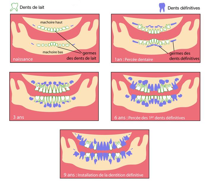 L'éruption des dents