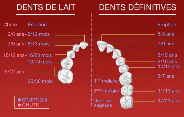 Evolution de la dentition